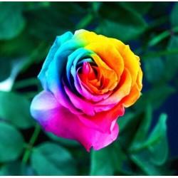 Balenie 200 semien dúhových ruží