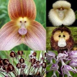 Semená opičích orchideí - 20 ks
