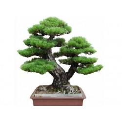 Semeno japonskej PINE TREE Bonsaie